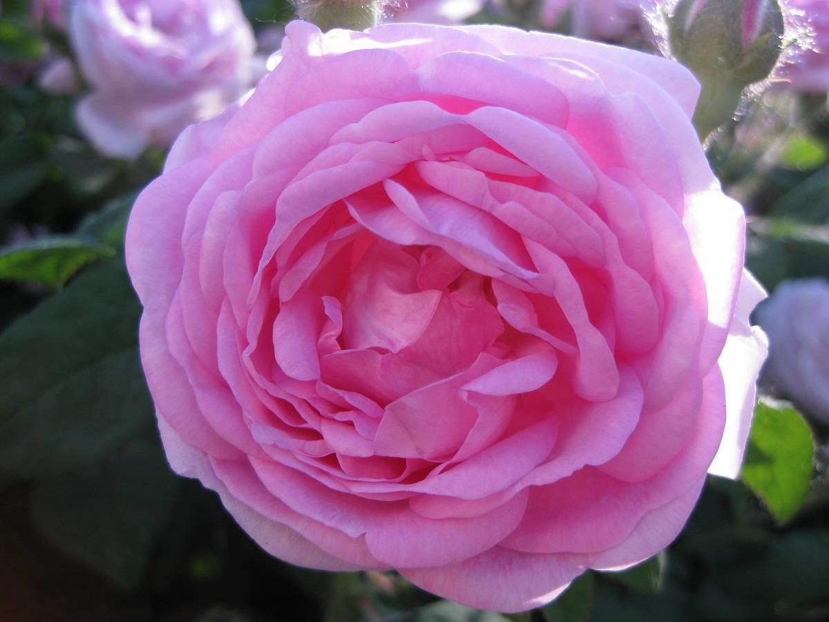 чайная роза, какие бывают чайные розы?