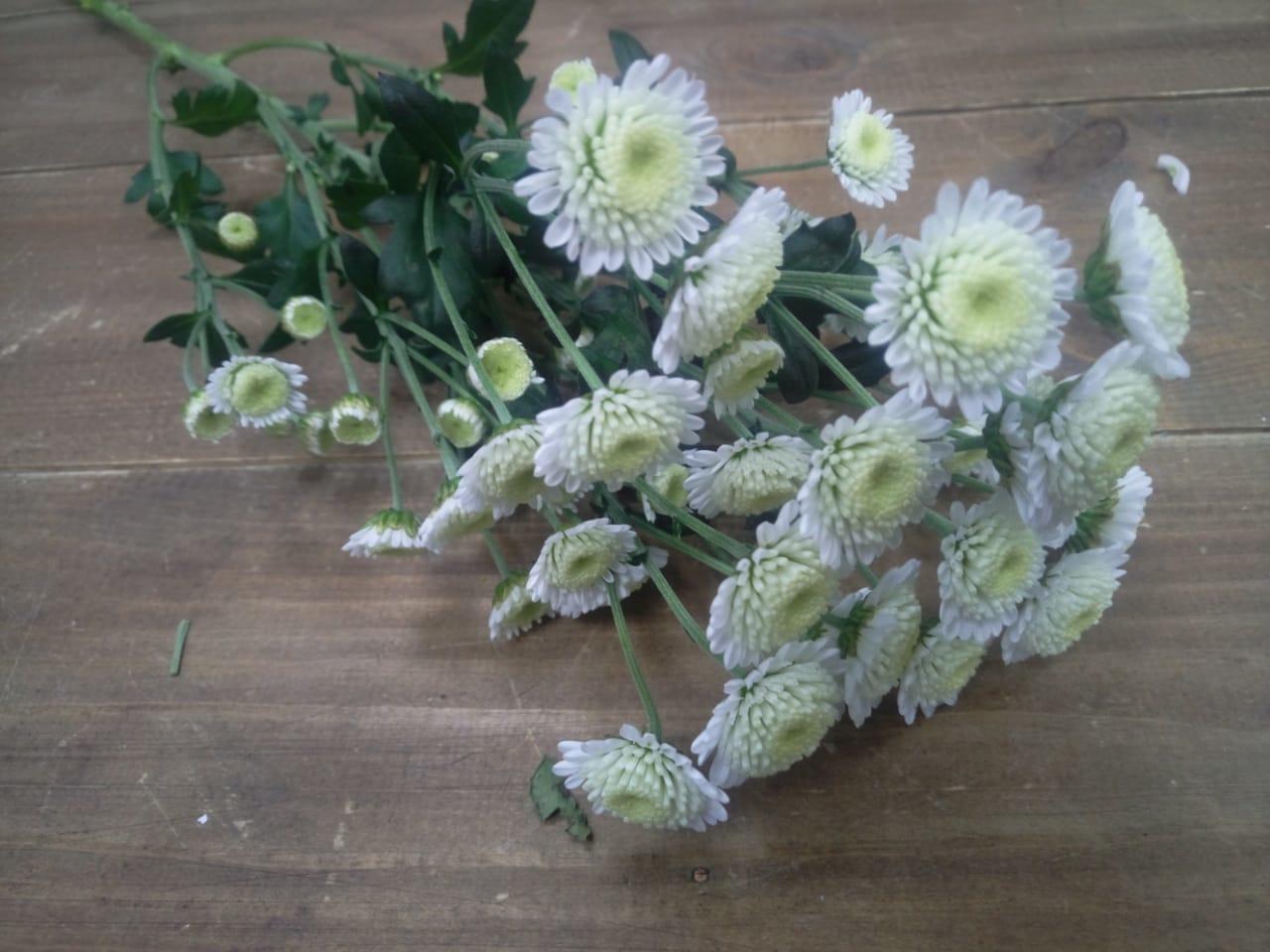 Хризантемы сантини купить в Казани