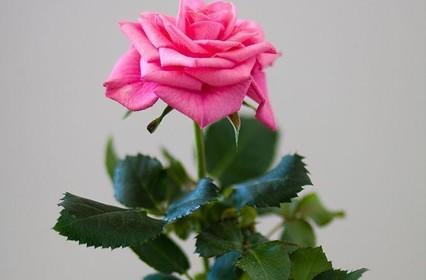 Как вырастить розу из черенка купленной розы?