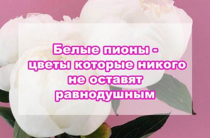 Белые пионы - цветы которые не оставят равнодушным