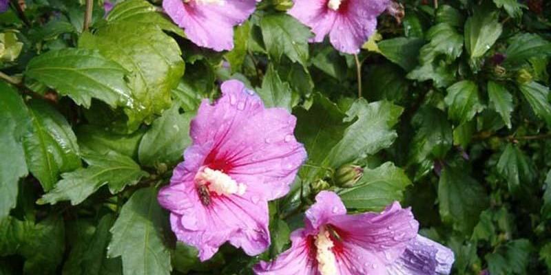Почему гибискус – цветок смерти