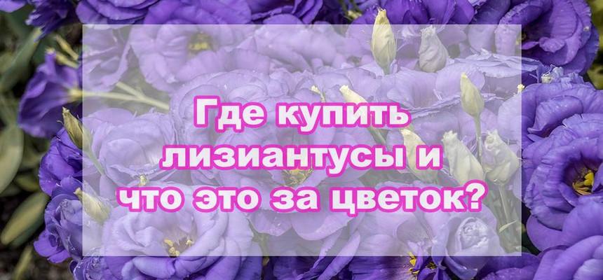 Где купить лизиантусы и что это за цветок?