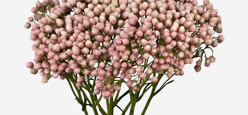Озотамнус - что за цветок и почему его называют рисовым?