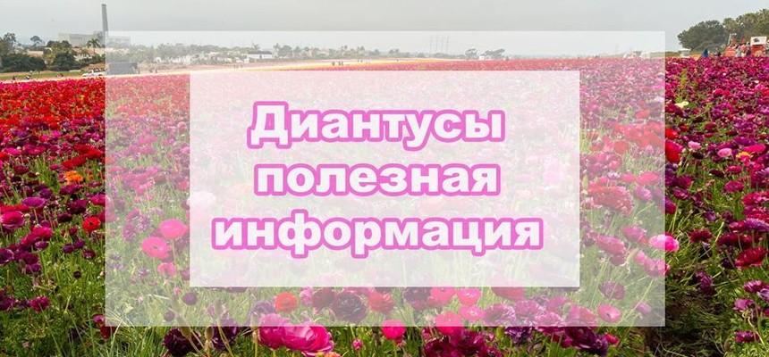 Диантус - что это за цветок