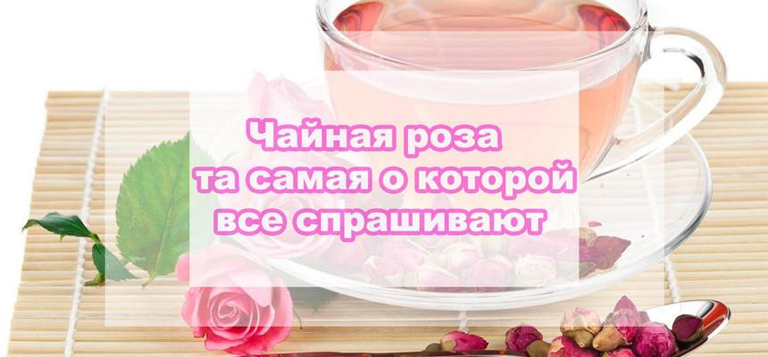 Чайная роза, что это за цветок о котором нас часто спрашивают