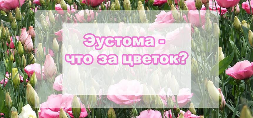 """Эустома или """"Ирландская роза"""" - что это за цветок?"""