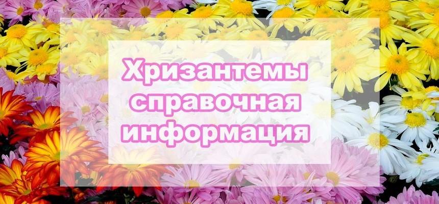 Хризантемы - все что Вы хотели знать об этом цветке