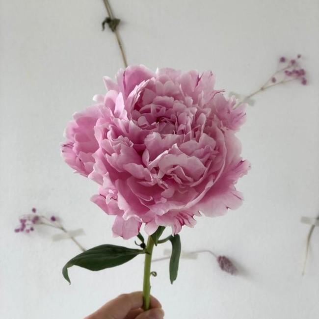 Пионы розовые (поштучно)