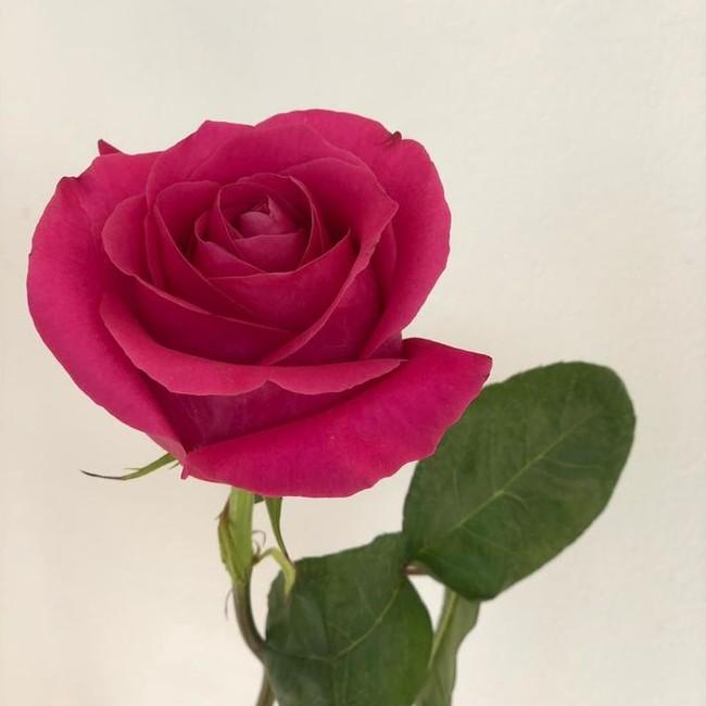 Розовые розы с крупным бутоном (штучно)