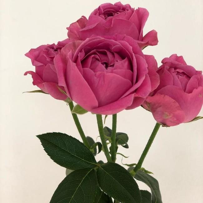 Пионовидная роза розовая (штучно)
